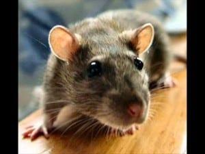 مكافحة الفئران المنزلية بجدة