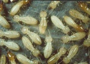 اضرار النمل الابيض بجدة